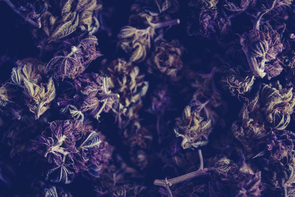 legalização da canábis medicinal